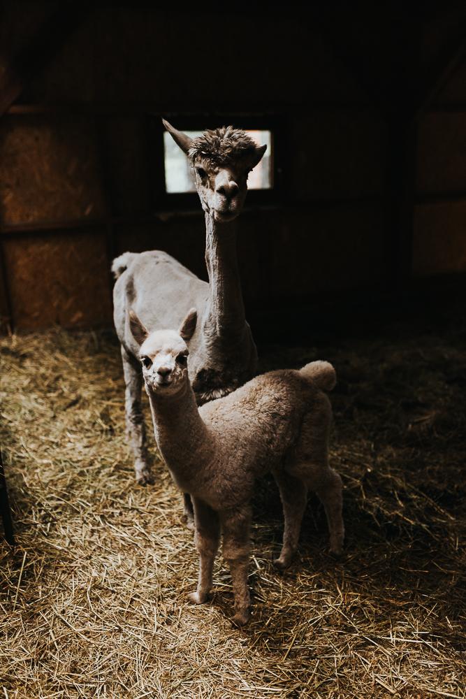 Mała alpaka i jej mama